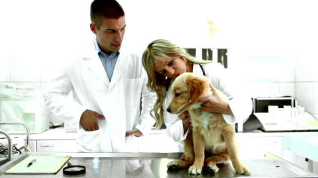 vets examining a golden retriever puppy. - examination table stock videos & royalty-free footage