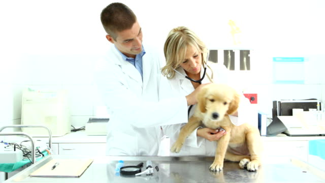 veterinari esaminare retriever cucciolo - stetoscopio video stock e b–roll