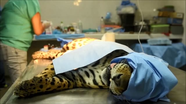 vets in el salvador's zoo carry out an operation to clean up a bone infection in the country's last male jaguar an 18 year old named greco - zoo stock videos & royalty-free footage
