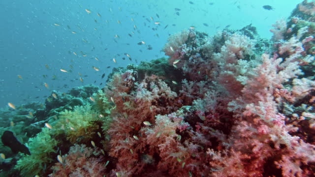 vibrant coral reef background with schools of tropical fish - anthias fish stock videos & royalty-free footage