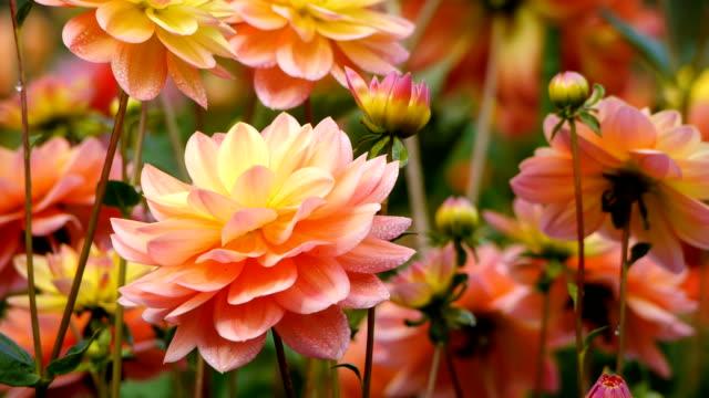 hd vibrant の花のガーデン - ダリア点の映像素材/bロール