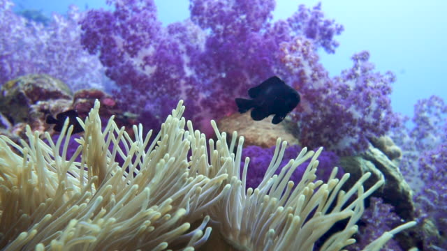 Vibrant healthy coral reef containing Sea Anemone and Alcyonarian soft coral