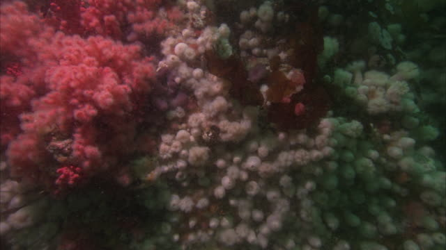 vibrant pink corals grow among white nodules on the pacific reef. - lymphknoten stock-videos und b-roll-filmmaterial