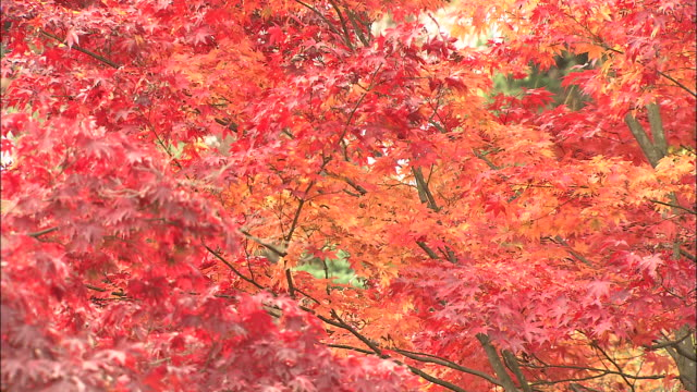 vibrant red and orange leaves sway in a breeze. - maple leaf stock videos & royalty-free footage