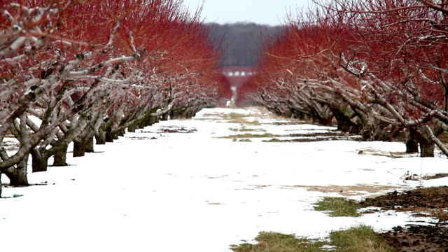 vibrant rows of peach trees in winter - peach stock videos & royalty-free footage