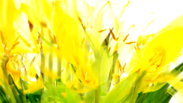 the yellow tulips - vibrant (fade out) - fade out video transition stock videos & royalty-free footage