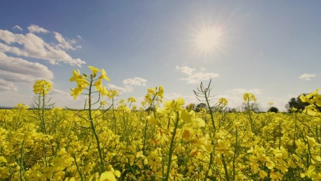 vibrant yellow canola field under sunny blue sky, real time - canola stock videos and b-roll footage