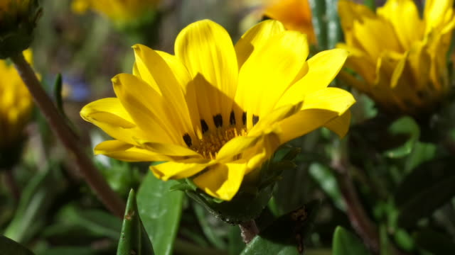 A vibrant yellow flower blooms in the sunshine. Available in HD.