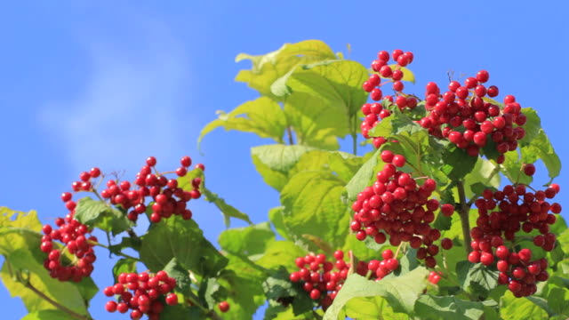 Viburnum berry, guelder-rosa
