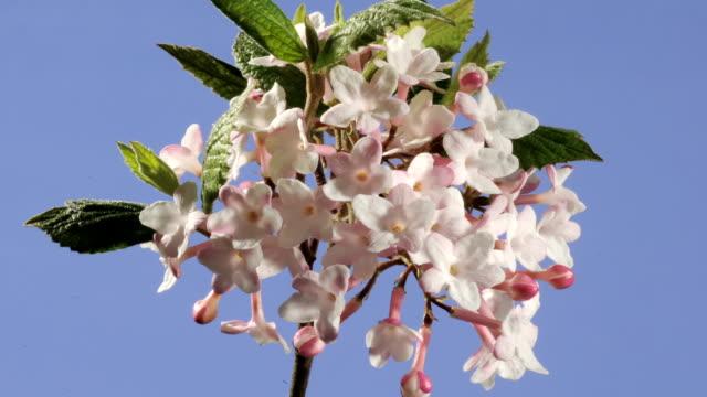 Viburnum carlesii flowers, timelapse