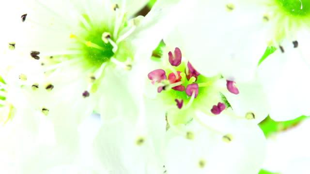 Viburnum tinus blooming in time lapse video