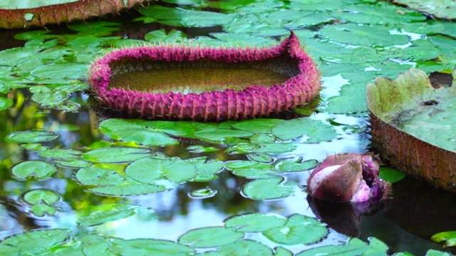 victoria amazonica - french overseas territory stock videos and b-roll footage