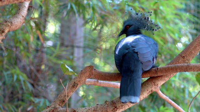 4k victoria crowned pigeon - animal's crest stock videos and b-roll footage