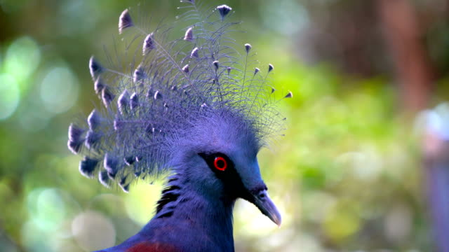 victoria crowned pigeon - animal's crest stock videos and b-roll footage