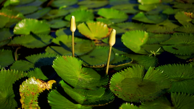 victoria regia - aquatic organism stock videos & royalty-free footage
