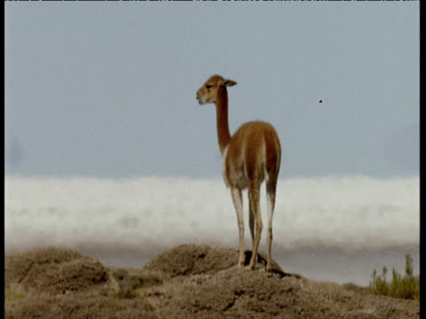 vicuna chewing cud on hot rocky salt pan in heat haze - bolivia stock videos & royalty-free footage