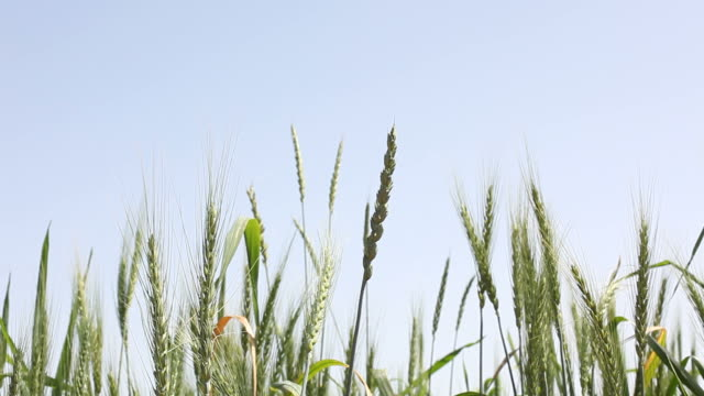 HD Vide Of Wheat Spikes On Clear Sky