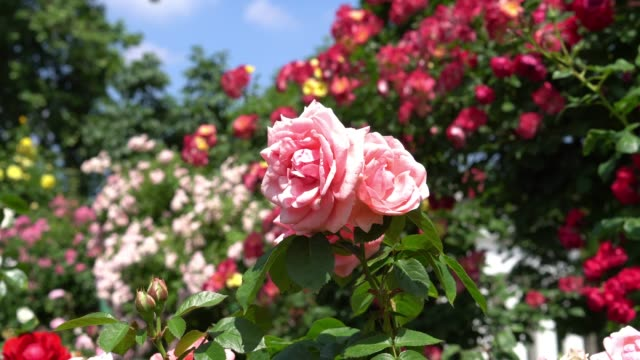 beautiful hybrid tea roses - bush stock videos & royalty-free footage