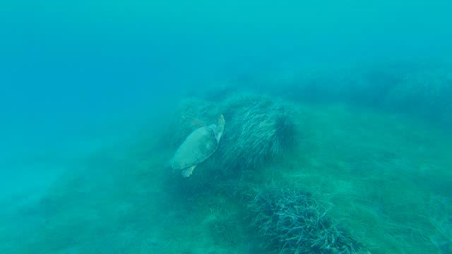 4k video a small sea turtle swimming around in ionian sea just off an zakynthos greece - caretta caretta stock videos & royalty-free footage