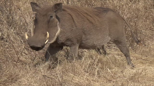 vídeos de stock, filmes e b-roll de video a warthog in serengeti national park, tanzania. - javali africano