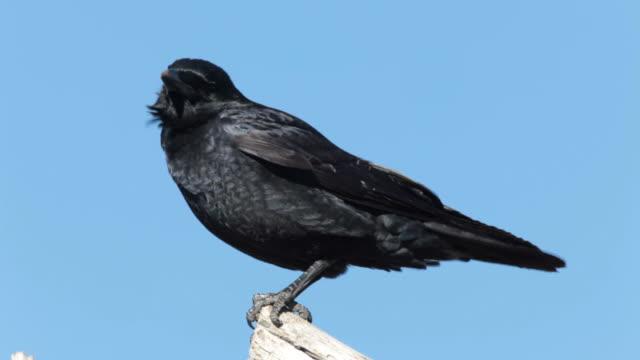 HD video American crow on tree trunk Colorado