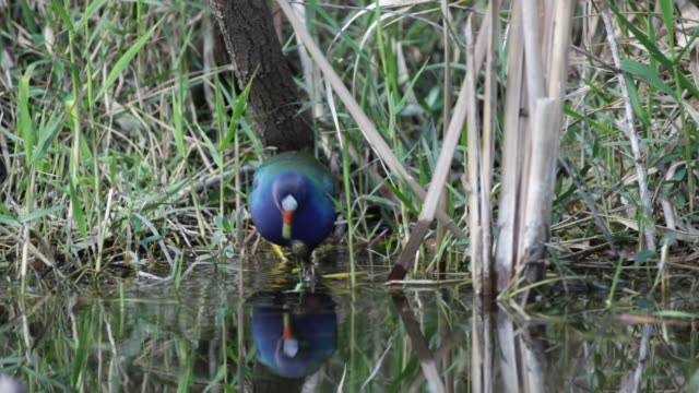 HD video American purple gallinule, Everglades NP