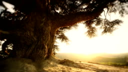 HD video beautiful italian sunset with old tree dolly movement