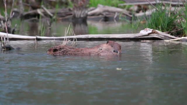 vídeos y material grabado en eventos de stock de vídeo hd beaver par cuidados de bear creek, colorado - castor