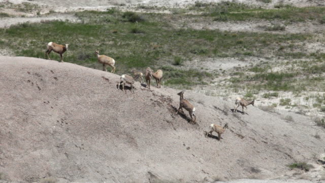 hd video bighorn herd badlands national park south dakota - badlands national park bildbanksvideor och videomaterial från bakom kulisserna