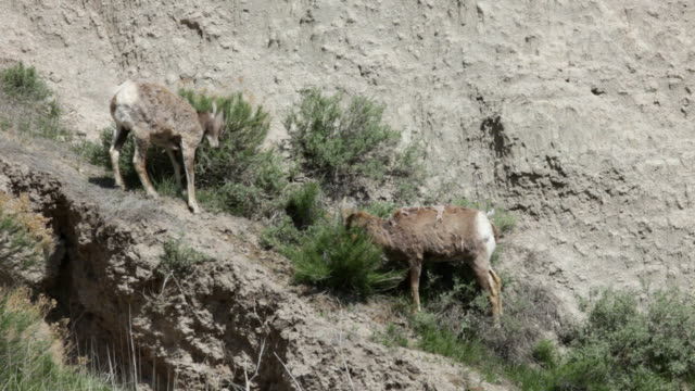 hd video bighorn pair badlands national park south dakota - badlands national park stock videos & royalty-free footage