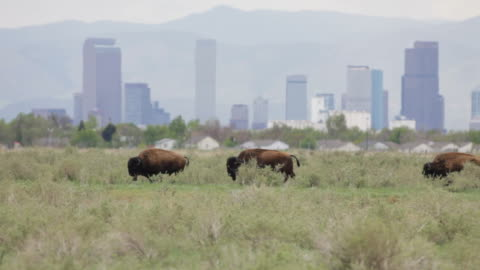 hd video bison and downtown denver skyscrapers - 美洲野牛 個影片檔及 b 捲影像