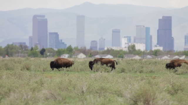 video hd di bisonte e i grattacieli del centro di denver - montagne rocciose video stock e b–roll