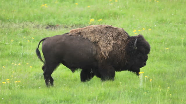 hd video bison bull lamar valley yellowstone np wyoming - yellowstone national park stock videos & royalty-free footage