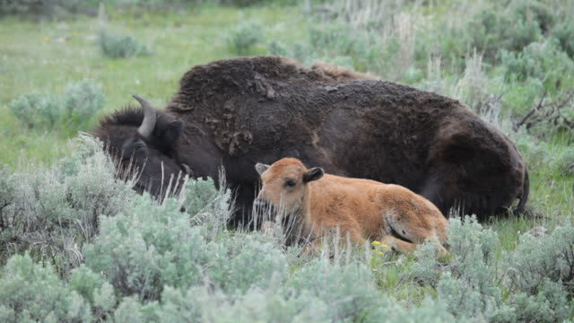 hd video bison calf lamar valley yellowstone np wyoming - yellowstone national park stock videos & royalty-free footage