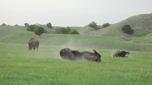 hd video bison dust baths badlands national park south dakota - badlands national park stock videos & royalty-free footage