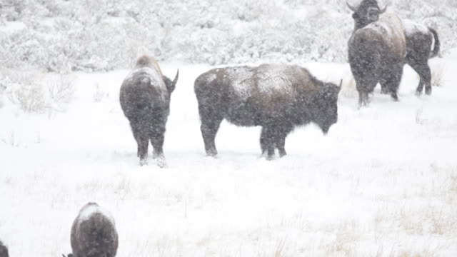 hd video bison in blizzard yellowstone np - american bison stock videos & royalty-free footage