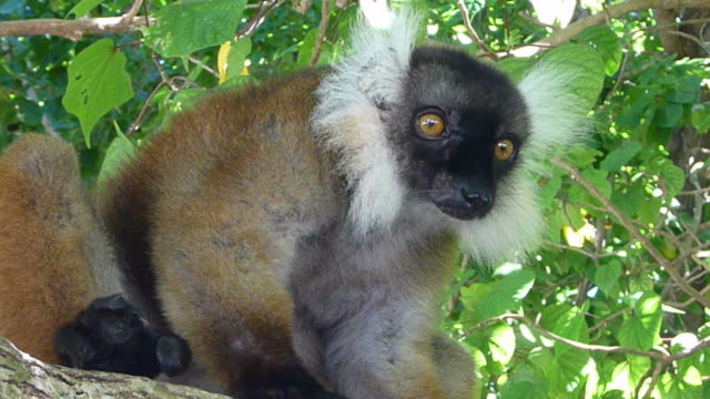 HD video black white ruffed lemur Nosy Tanikely Island Madagascar