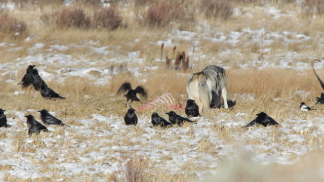 HD video Blacktail wolf pack feeds Yellowstone NP Wyoming