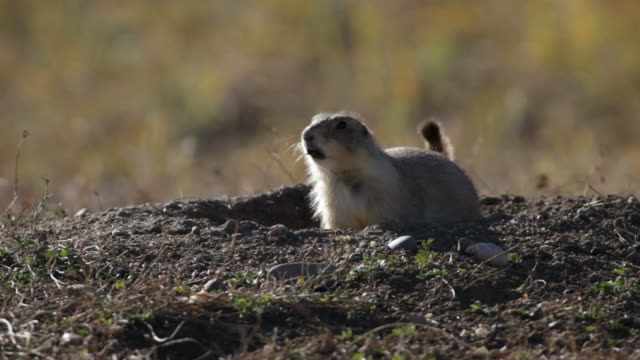 hd video black-tailed prairie dog barking, colorado - state park stock videos & royalty-free footage