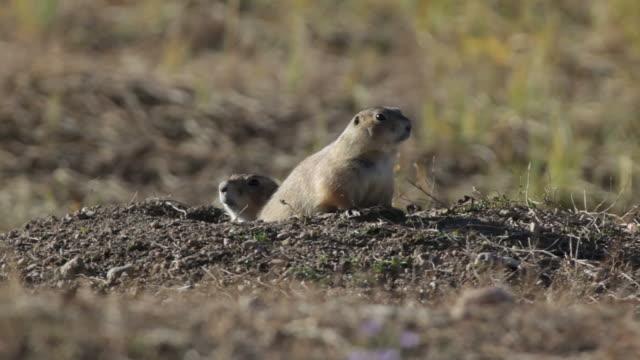 video HD Cane della prateria dalla coda nera coppia, Colorado
