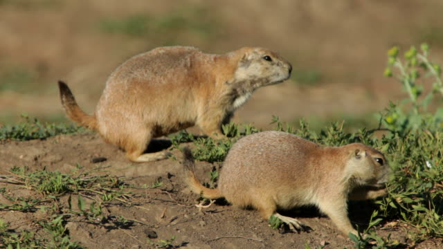 HD video Black-tailed prairie dog pair Colorado