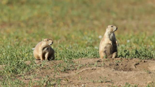 stockvideo's en b-roll-footage met hd video black-tailed prairie dog pair colorado - dierenhol