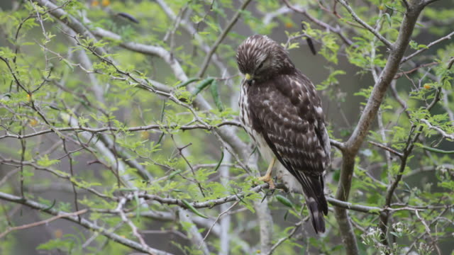 hd video broad-winged hawk in everglades np florida - animal wing stock videos & royalty-free footage
