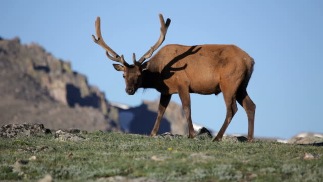 HD-Video Bull River Elk und weibliche in Rocky Mountain NP