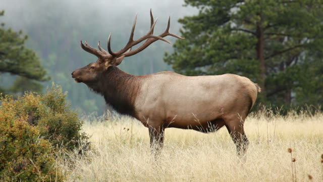 hd video bull elk bugling colorado - antler stock videos & royalty-free footage