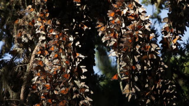 HD Video Cedar branches of Migrating Monarch butterflies California