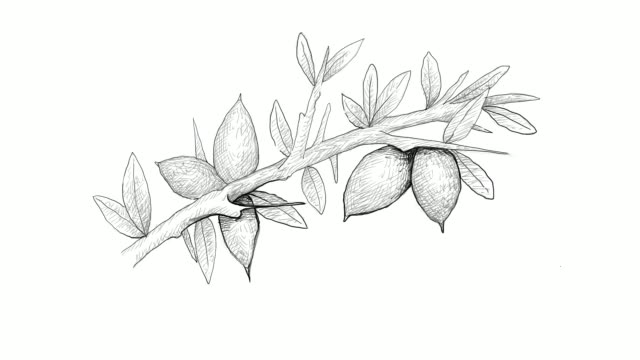 video clip hand drawn of argan seeds on a branch - tropical tree stock videos & royalty-free footage