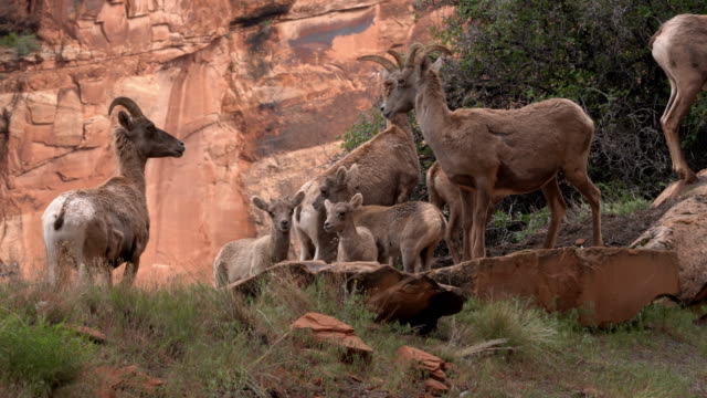 video clip of bighorn sheep, ewes and their young lambs on a mountainside grazing in the colorado national monument - sheep stock videos & royalty-free footage