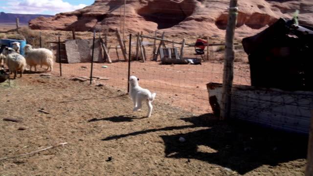 vídeos de stock, filmes e b-roll de um clipe de vídeo garimpando uma caneta de ovelha com ovelhas e cordeiros - grupo mediano de animales