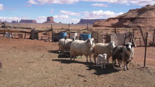 vídeos de stock, filmes e b-roll de um clipe de vídeo garimpando uma caneta de ovelha com ovelhas e cordeiros com o jovem navajo menino cuidando de seu rebanho - grupo mediano de animales